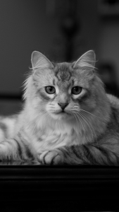 siberian-cat-android-wallpaper