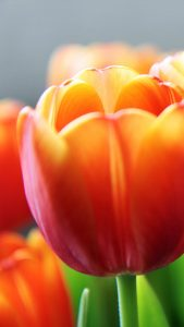 tulip-flower-spring-closeup-android-wallpaper
