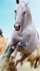 white-running-horse-gallop-android-wallpaper